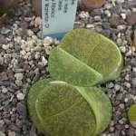 lesliei cv.Albinica