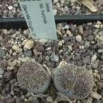 lesliei ssp.burchellii